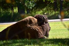Bison at the Visitor Center (MarkusR.) Tags: mrieder markusrieder nikon d7200 nikond7200 vacation urlaub fotoreise phototrip usa 2017 usa2017 southdakota custerstatepark landscape landschaft natur nature animals wildlife tiere bison