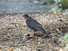 Sparrow Hawk (martin_swatton) Tags: sparrow hawk raptor eagle hunter bird olympus omd em1 mkii mzuiko 300 f4 pro dxo titchfield haven hill head hampshire uk england