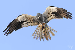 Albanella Minore (Polpi68) Tags: albanella falco falcon circus nature wildlife wil bird birds birdwatching