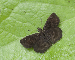 Hayhurst's Scallopwing 3 (brian.magnier) Tags: new jersey nature wildlife animals outdoors