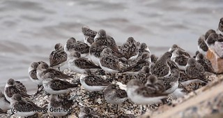 Sandpipers on the rocks...