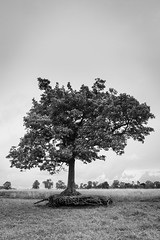 Levitating (Helmuth of Boskone) Tags: stanfordonavon field grass tree roots blackandwhite monochrome northamptonshire