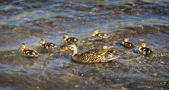 Mallard Duck and Ducklings - Sierra (Bruce Lemons) Tags: sierra sierranevada mountains backpacking hike hiking wilderness landscape california anseladamswilderness mallard duck mother ducklings garnetlake lake
