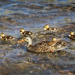 Mallard Duck and Ducklings - Sierra thumbnail