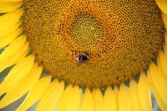 In search for honey (Michel Westdijk) Tags: uniflona smileonsaturday sunflower bee 7dwf