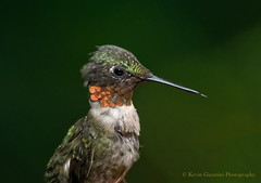 Ruby-throated Hummingbird (Kevin James54) Tags: archilochuscolubris lakegalena nikond850 peacevalleypark rubythroatedhummingbird tamron150600mm animals avian bird hummingbird kevingianniniphotocom