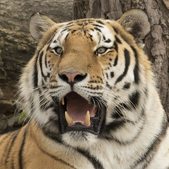 Amoertijger - Safaripark Beekse Bergen, Hilvarenbeek (mariandeneijs) Tags: tijger amoertijger tiger cat bigcat safaripark safariparkbeeksebergen beeksebergen hilvarenbeek