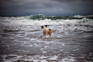 Rupert heading for the waves