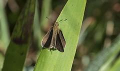 Dun Skipper on Grass Blade (Odonata457) Tags: marylandcity maryland unitedstates dun skipper euphyesvestris