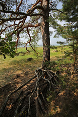 2980 (Mikael Laaksonen Photography) Tags: tree pine roots