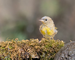 Scruffy I (dennis_plank_nature_photography) Tags: avianphotography commonyellowthroat thurstoncounty birdphotography naturephotography juevenile wa avian birds blind copse drip home littlerock nature pools