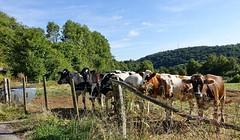 """""""Kühe gucken"""" gehört bei mir zu Eifel-Ausflügen (mama knipst!) Tags: eifel kuh cow vache tier animal sommer august deutschland germany allemagne"""
