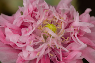 Giant Double Pink Poppy
