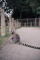 Lemur 2 (LewisHayes) Tags: lemur animal wildlife