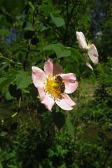 Rosa subcanina (aniko e) Tags: rosaceae rosa rosasubcanina hundsrose falschehundsrose fasledogrose rose dogrose hamisgyepűrózsa gyepűrózsa daglfing hüllgraben munich germany