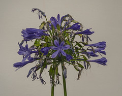 Agapanthus (frankmh) Tags: plant flower agapanthus fredriksdal helsingborg skåne sweden