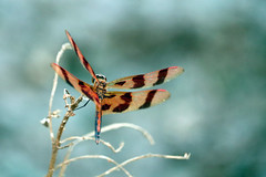 Halloween Pennant Dragonfly (A_Renee_88) Tags: halloween pennant dragonfly macro micro insects pond nature tiger stripes wings dragon fly bugs orange blue