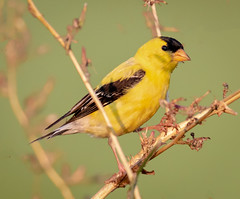 Feeding on seeds (tresed47) Tags: 2018 201808aug 20180806bombayhookbirds august birds bombayhook canon7dmkii content delaware finch folder goldfinch peterscamera petersphotos places season summer takenby us