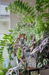 0823181605f_HDR (Kaemattson) Tags: plants tropical tropicalplants fern succulent sedum staghorn crassula oncidiumorchid orchid home houseplant plantcollection denver co colorado