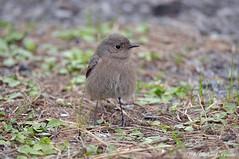 Codirosso spazzacamino _012 (Rolando CRINITI) Tags: codirossospazzacamino uccelli uccello birds ornitologia pegli natura