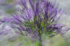 multiplied (quietpurplehaze07) Tags: 7dwffridaysfloral agapanthus macro multipleexposure blue purple