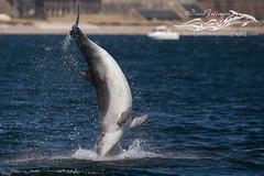 BND Dolphin (breaching)-0054 (David Jefferson Photo) Tags: bottlenose dolphin flight breaching breach tursiops truncatus chanonry point inverness fortrose highlnd scotland wildlife marine sealife sea ocean moray firth