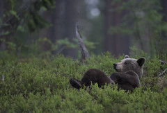 Just chilling :) (Jyrki Liikanen) Tags: relax chilling bear bearphotography beautiful happiness happy glad forest taiga taigaforest wildlife wildlifephotography wildnature wildanimal naturephotography nature naturephoto finland visitfinland nightphotography inthewoods tree trees mammal animal grass field landscape wood pine