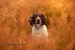 Focused (Flemming Andersen) Tags: zigzag spaniel pet nature dog outdoor portrait cocker hund animal