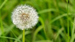 Dandelion macro (Matthieu Toulemonde) Tags: nature sony rx10 macro flower seed pappus dandelion allfreepicturesaugust2018challenge