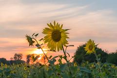 The 3 Generations (redfurwolf) Tags: sunset sunflower field sky outdoor landscape sonyalpha sony a7rm3 redfurwolf sal2470f28za garching