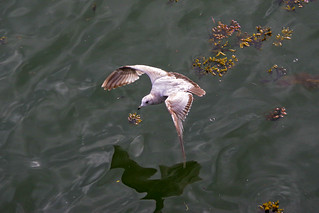 Seagull or Shearwater?