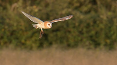 Barn Owl, with prey (KHR Images) Tags: barnowl withprey withvole tytoalba wild bird birdofprey raptor flying hunting daylight cambridgeshire fens eastanglia wildlife nature nikon d500 kevinrobson khrimages