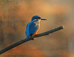 1S9A6966 (saundersfay) Tags: kingfishers barn owls wren mist cobwebs country kent dawn