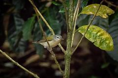 Vermivora peregrina (Tennessee Warbler) breeding male - Parulidae - Finca Lerida, Bajo Mono, Boquete, Chiriqui, Panama-2 (Nature21290) Tags: boquete chiriqui fincalerida panama2018 parulidae tennesseewarbler vermivora vermivoraperegrina