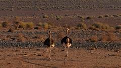 gemeinsam des Weges (marionkaminski) Tags: namibia afrika africa animal dieren straus vogel bird oiseau parajo landscape paisaje paysage panasonic lumixfz1000 animali