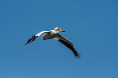 2017 American White Pelican In Flight 6 (DrLensCap) Tags: american white pelican in flight ledge road horicon marsh national wildlife refuge waupun wisconsin wi bird robert kramer