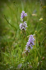 Wild Orchids (c.marney) Tags: orchids