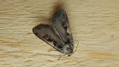 20180812_152056 (Paul Young1) Tags: setaceoushebrewcharacter xestiacnigrum noctuidae 1 one single moth moths animal animals insect insects insecta arthropod arthropods arthropoda lepidoptera nature wild wildlife uk british britain perched perching close study imago unitedkingdom closeup top topview openwings