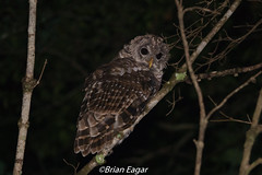 Barred owl (brian eagar - very busy - not much time to comment) Tags: animal nature wild wildlife bird owl barredowl georgia georgiawildlife georgianature georgiaowl night nocturnal perch dark sony rx10m4 godox
