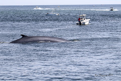 fin whale off Race Point (wandering tattler) Tags: whale leviathan fin finwhale fishing boats capecod provincetown marine giant 2018