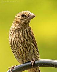 Backyard Birdy (jmhutnik) Tags: sparrow summer beak feathers brown green