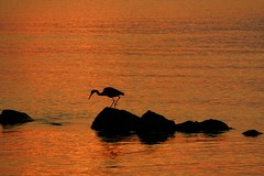 Just another day at the Bay (maj488/mike) Tags: apalachicola apalachicolabay bay ocean gulfofmexico gulf sunrise peace peaceful serenity crane bird waterfowl fauna