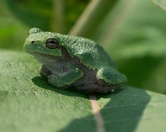 Tree Frog (denise51168) Tags: nature treefrog amphibian wisconsin nikond5300