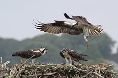 Falmouth Road Race - August 19, 2018 223 (CapeLawyer.com) Tags: falmouthroadraceaugust192018 osprey nest fish chicks