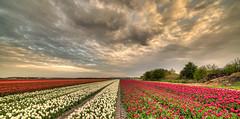 Tulips under a cloudy sky. (Alex-de-Haas) Tags: 11mm adobe blackstone d850 dutch hdr holland irix irix11mm irixblackstone lightroom nederland nederlands netherlands nikon nikond850 noordholland photomatix photomatixpro beautiful beauty bloem bloemen bloementeelt bloemenvelden cloud clouds cloudscape drama dramatic floriculture flower flowerfields flowers landscape landschaft landschap lente lucht mooi nature natuur polder skies sky skyscape spectaculair spectacular spring sun sundown sunset tulip tulips tulp tulpen wolk wolken zonsondergang