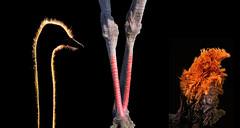 ostrich # 3 (tdwrsa) Tags: canoneos70d tamronsp150600mmf563divcusda011 ostrich voëlstruis struthiocamelus rietvleinaturereserve breedingseason tail backlitneck