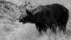 A Moment Of Reflection (Obelus2000) Tags: bear carnivore brown ussuribrownbear ussuri yorkshirewildlifepark blackwhite black white mono monochrome grass fz2000 fz2500 japan japanese