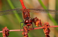 Ruddy Darter -Sympetrum sanguineum- Pulborough Brooks RSPB West Sussex (4) -Explored (ailognom2005) Tags: pulboroughbrooksrspb sympetrumsanguineum westsussex ruddydarter dragonflies dragonfliesanddamselflies red naturalhistory naturereserves rspbreserves insect macro