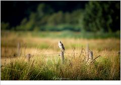 Buizerd (nandOOnline) Tags: avond dieren grootepeel vogels roofvogel buizerd paal veld uitkijk