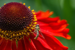 Woah this is a big flower (Paul Wrights Reserved) Tags: bee bees colour vibrant flower red yellow botanical bokeh bokehphotography macro macros macrophotography stamen pollen pollenation light insect insects
